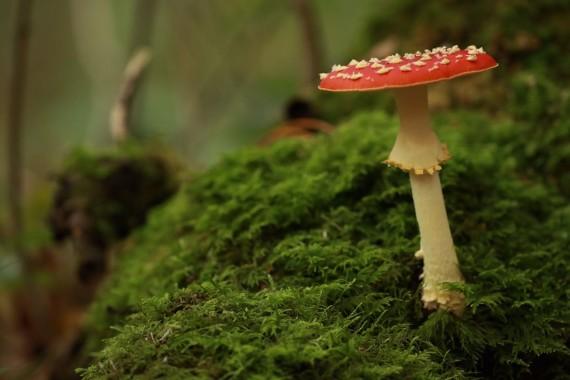 Bakkum_Rode_paddenstoel.jpeg